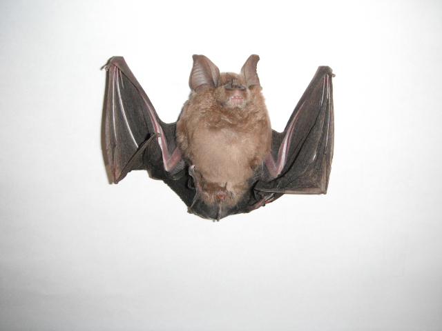 コウモリの画像 p1_28