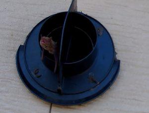 2階東換気フードコウモリ